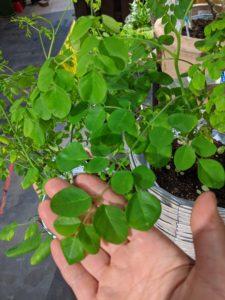 モリンガの樹木と葉