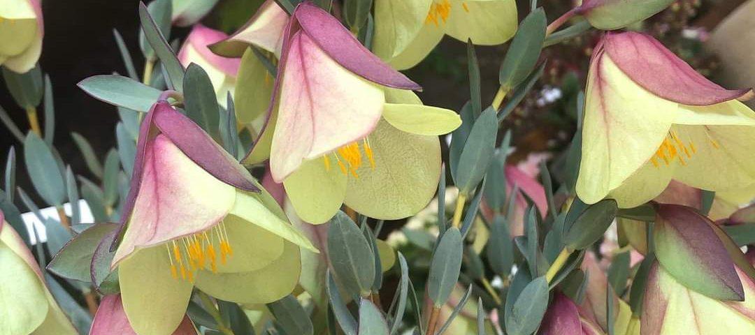 ピメレアピソディスウェディングベルのお花