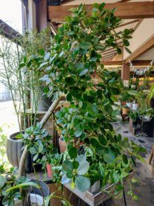 パンダガジュマル@京都の花屋